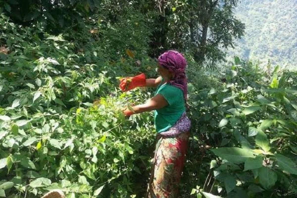 कृषिमा नयाँपन - मकवानपुरगढिमा व्यवसायीक सिस्नु खेती