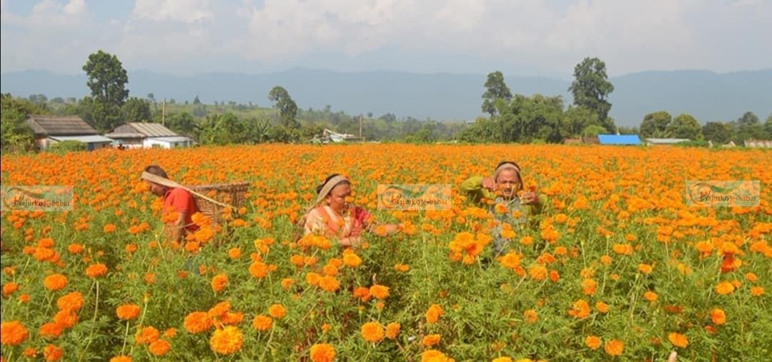 हेटौंडा १२ का वडाध्यक्ष  ललित घलान फूलखेतिबाट लाखौंको आम्दानी गर्दै